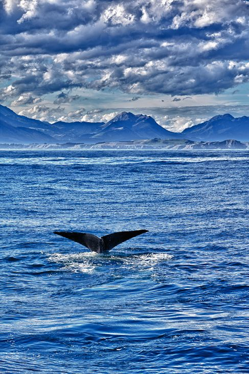 Whale Watching  in Kaikoura  | The Planet D Adventure Travel Blog