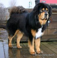 The Tibetan Mastiff : A big old ball of fluff and cuddles.