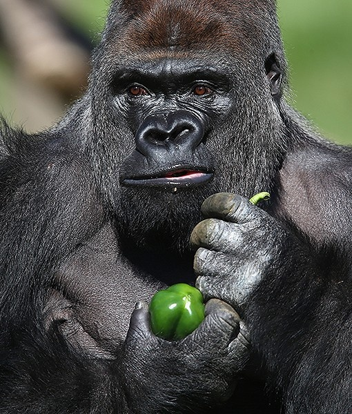 At the London Zoo in England, Kumbuka, a 15-year-old western lowland gorilla, holds a green pepper as he explores his new enclosure.