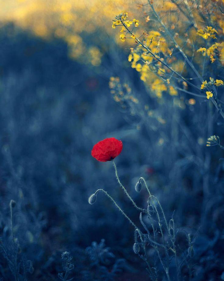 #flowers #flower #nature #naturelovers #canon #garden #blue #bluelovers #poppy #spring
