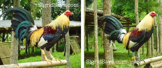 Otic Geroso: Six Decades In Love with Game Fowls | Sigrid Says