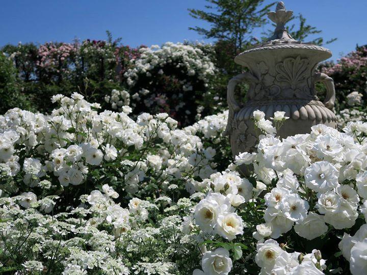 Ein weisses Rosen-Märchen: Yokohama English Garden 横浜イングリッシュガーデ. See Translation