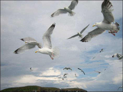 Seagulls http://www.bbc.co.uk/northwesttonight/content/image_galleries/220607_weather_pictures_we220607_gallery.shtml?33