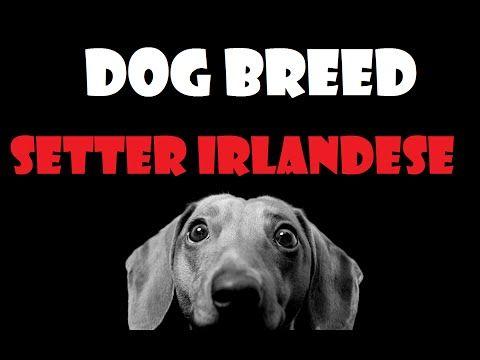 DOG BREED - Setter Irlandese [ITA] - http://www.doggietalent.com/2014/11/dog-breed-setter-irlandese-ita/