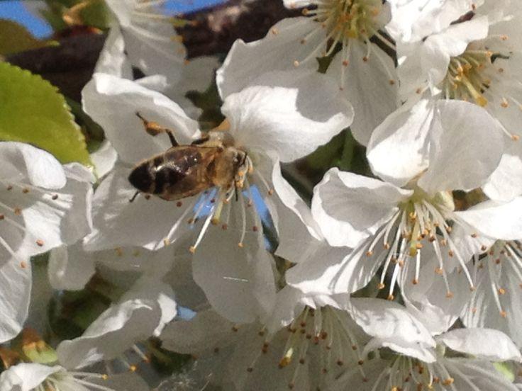 Abeille sur un cerisier en fleurs