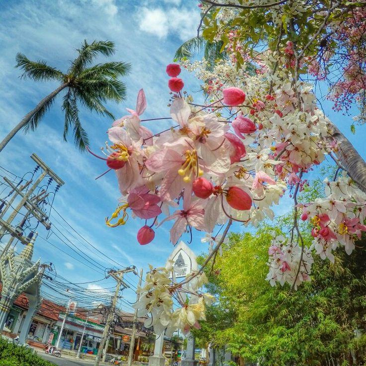 Всем доброго утра!  Не знаю, что это за растение, но очень похоже на увеличенные цветки вишни яблони.  #Самуи