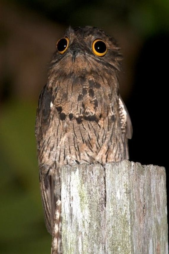 The Potoo – Nature's Most Surprised Looking Bird. This feathered wonder – the potoo – resides in the humid forests of Central America, South America and the Caribbean. Despite his look of constant surprise spread across his plate sized eyes, you're not likely to see the little buggers very often. The potoo is nocturnal in nature and an expert at both standing still and hiding.