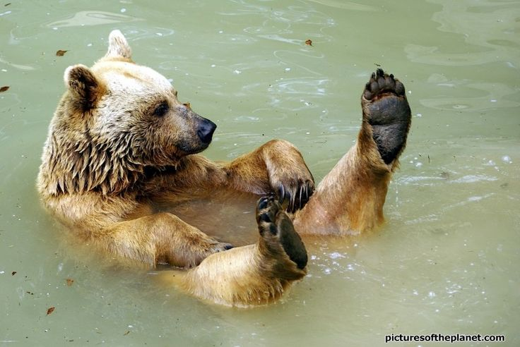 bear floating in water and funny shot of a grizzly