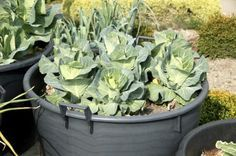 Cabbage Container Care: Tips For Growing Cabbage In Pots - Growing vegetables, like cabbage, in containers is a great alternative to planting them in beds in the ground. Learn how to grow cabbage in containers in this article. Click here for more information.
