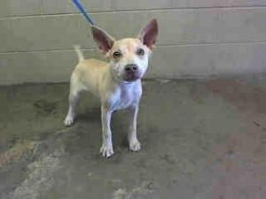NO LONGER AVAILABLE. A429217 ***URGENT*** San Bernardino City Animal Control is an adoptable Basenji Dog in San Bernardino, CA. WILL YOU SAVE ME? I would love to become part of your family.  THIS DOG IS AT THE SAN BERNARD...