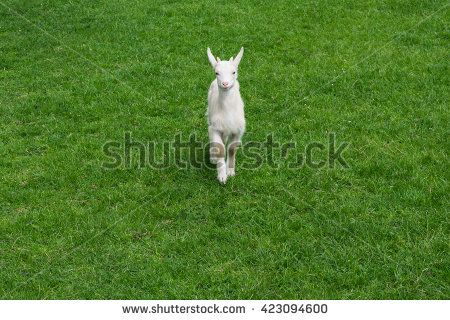 Cute baby goat goatling young green meadow grass front looking