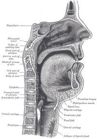 Сагитальный разрез носовой и ротовой полостей, глотки и гортани. Рисунок из Анатомии Грея