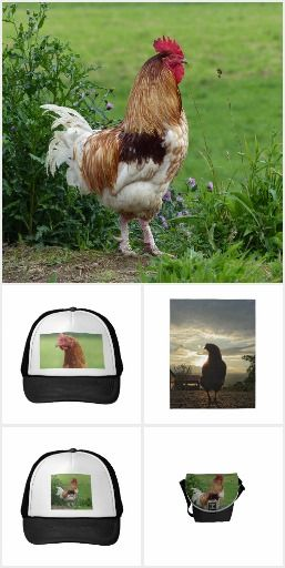 Domestic Animals, Lucky chicken, hen and rooster