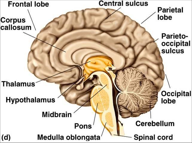 Diagram Of Cerebral Cortex  Midbrain  And Brainstem