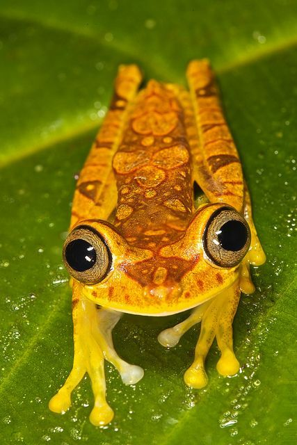 Wow - this frog almost looks like a cricket!