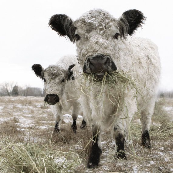 White Cow Photograph Two White Cows Animal Photography French Country