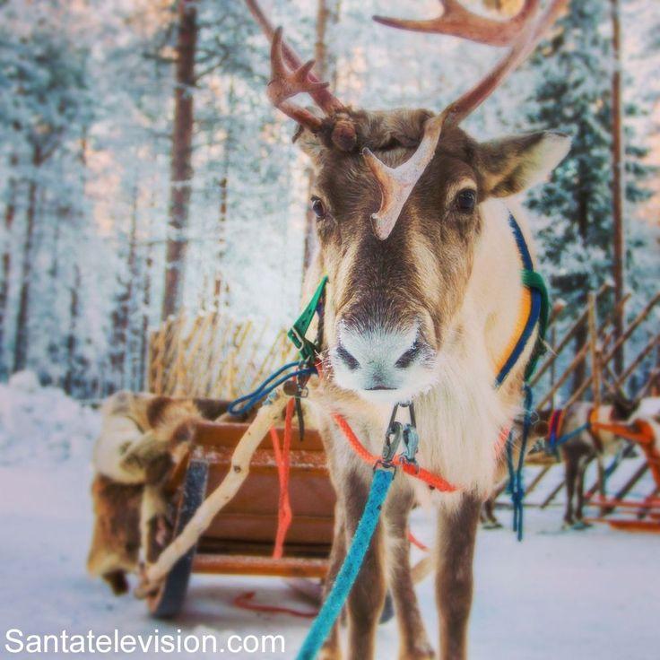 Le renne di Babbo Natale a Rovaniemi in Lapponia in Finlandia
