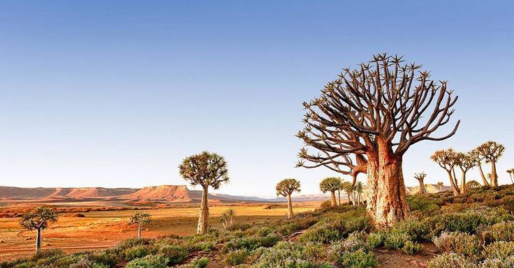 Follow me on Instagram http://ift.tt/234WAes Nieuwoudtville Northern Cape South Africa - Kokerbome (Quiver Trees) glow in the soft light as the sun dips over the arid #Bokkeveld of the Northern Cape. #southafrica #karoo #desert #exploreheaven #instatravel #natgeotravel #wanderlust #natgeo  #travelphoto #traveling #instatravel #instago #instagood #trip #travelling #instapassport #instatraveling #mytravelgram #travepoolgram #travelingram #igtravel #travelpics #passportready #travelblogger…