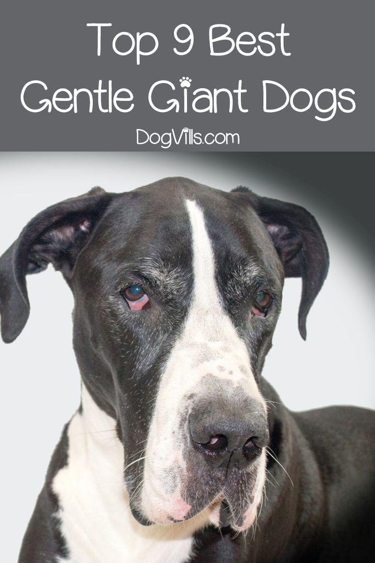 Top 9 Best Giant Dog Breeds Giant Dog Breeds Calm Dog Breeds Dog Breeds