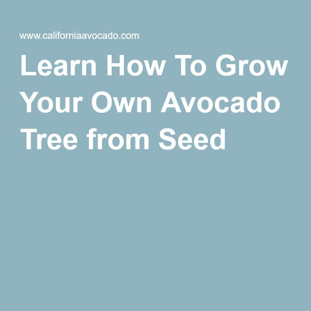 1000 ideas about avocado tree on pinterest growing an for Grow your own avocado tree from seed
