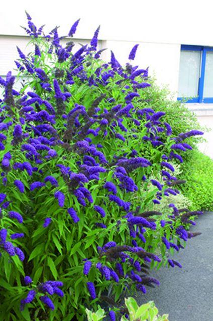 Schmetterlingsflieder - Buddleja blau --Pflanzen aus Holland - BlumenzwiebelnVersand.de