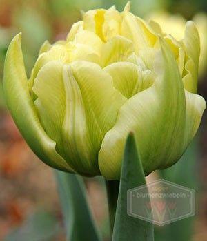 Tulpezwiebeln Montreux - Gefüllte frühe Tulpen kaufen