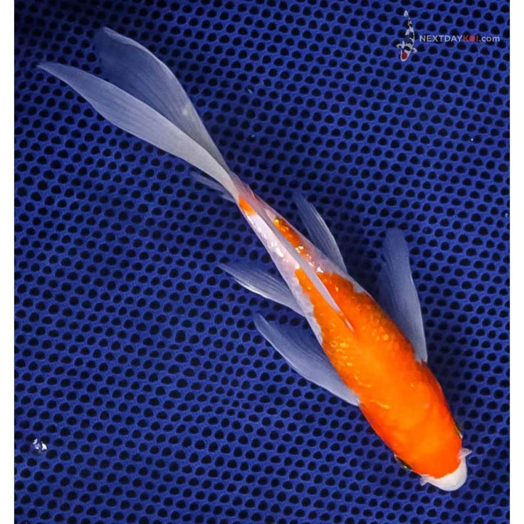 17 best ideas about fish for sale on pinterest polymer for Koi fish for sale near me