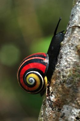 Are these not the most breathtakingly beautiful snails you've ever seen?? They're called Painted Snails or Cuban Land Snails (Polymita picta) and so they are appropriately found in Cuba.