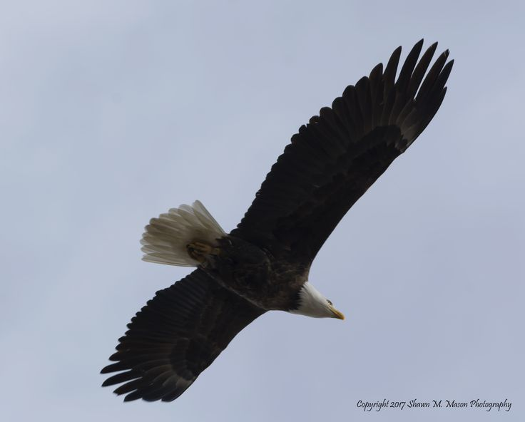 This female Bald Eagle is chasing away an immature Bald Eagle from a nesting area.  By Shawn Mason