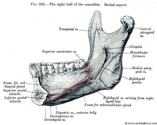 Anatomy Of The Jaw Anatomy Of The Mandible Human Anatomy Diagram ...