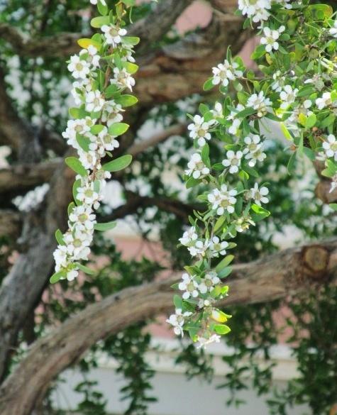 Coastal Tea Tree -Leptospermum laevigatum.  Tree around pool, add more?