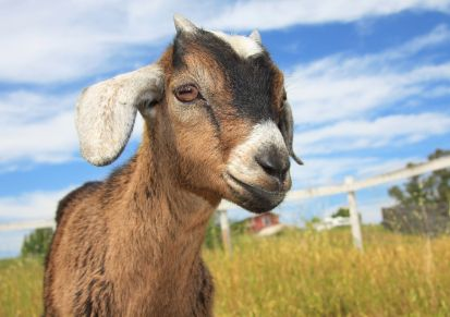 Kinder goat-- great for milking and meat (a cross between pygmy and nubian)