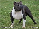 Pitbull Attack | Pitbulls Fighting | American Bully