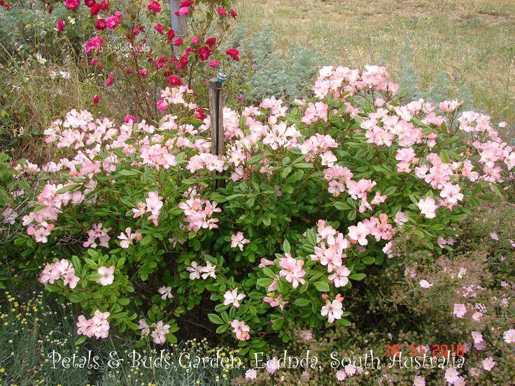 'Carabella' Australian bred shrub rose, in my garden.