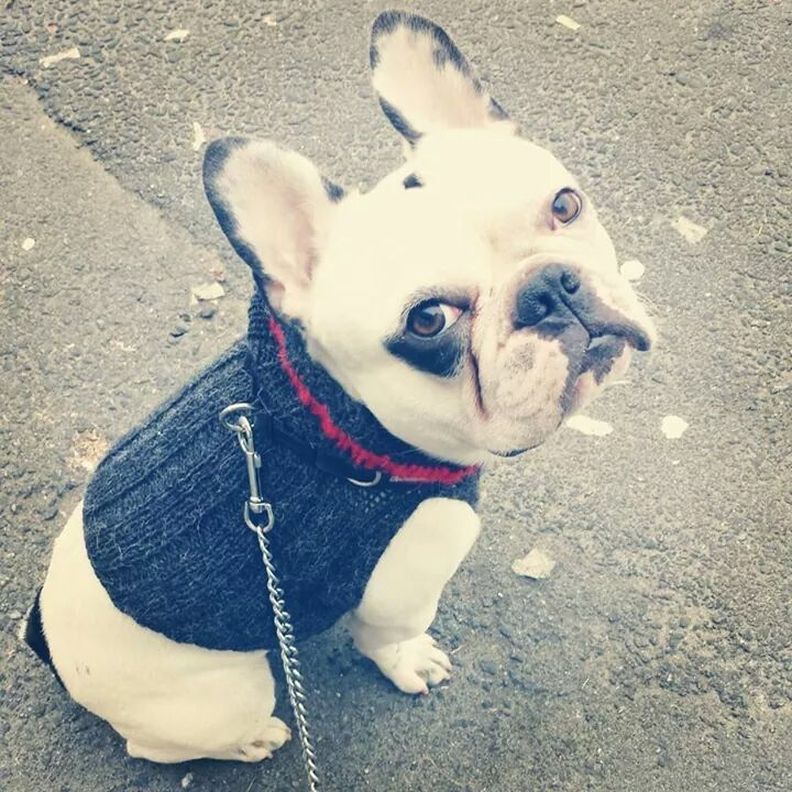 Bjarne the frenchie. #frenchbulldog