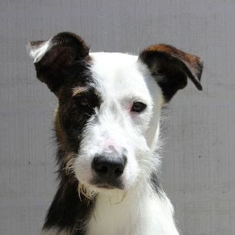 Beauty Bruce is a Male, 9mo, Staghound Mix in VIC up for adoption. http://www.petrescue.com.au/listings/344691