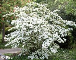 Japanischer Schneeball (Viburnum plicatum f. tomentosum)