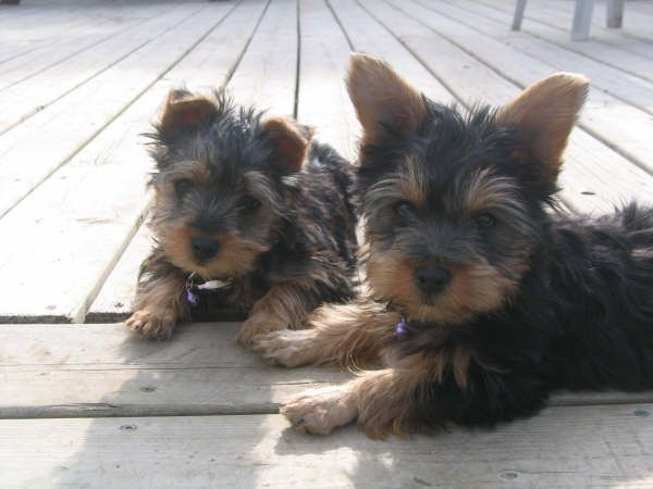 Two Silky Terrier puppies male and female lying on the floor