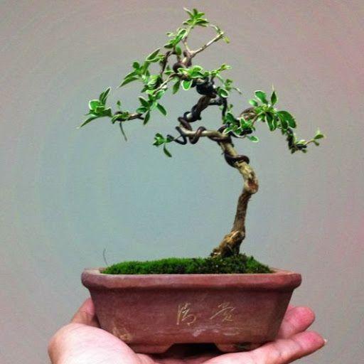 56 best bonsai serissa images on pinterest bonsai bonsai trees rh pinterest co uk Gardenia Bonsai Juniper Bonsai