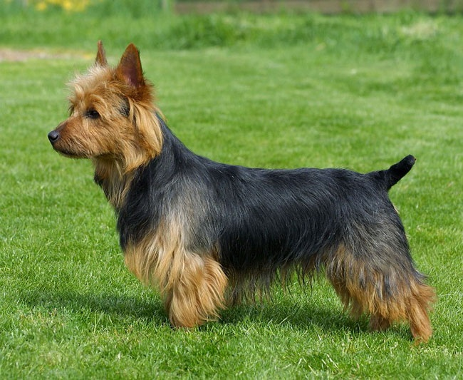 Australian Terrier - don't normally like small barky dogs, but Australian Terriers are very sweet dogs.
