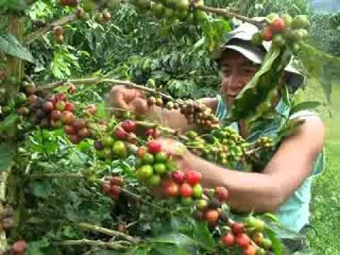 El Café de la Cordillera (Subtitulos Ingles).mov - YouTube | Este video habla sobre los trabajos en la industria de café en Colombia. Muchas personas tienen trabajos en café. También, muchas personas necesitan emigrar [spanishdict.com] para sus trabajos.