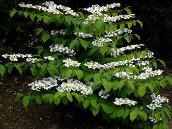 Viburnum plicatum Lanarth - PB5/6.5 - Dandy Plants   There is one in the corner of our property on the left of the driveway that is in full flower now. It thrives on neglect! Lovely spring leaves though loses leaves in winter. A plant I love!