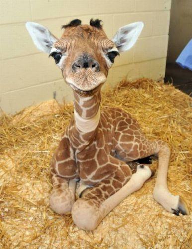 Such a cute baby giraffe. --- adorable animals aww babies cute cutest