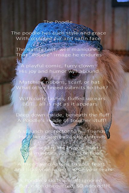 """The Poodle"" - Deja vu is the background model   Poodles ..."