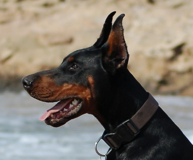 Ear Cropping Styles For Dobermans Animals Momme Mandegarinfo