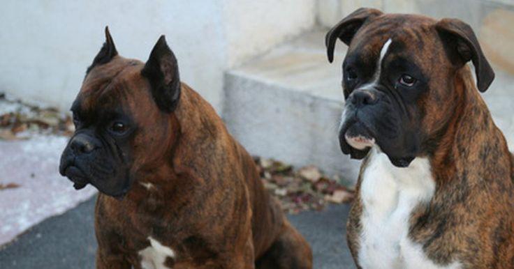 Cáncer en perros jóvenes. El cáncer es más común en perros de mediana edad y mayores. Las tasas de cáncer en perros son más altas que las de los seres humanos. Alrededor de un tercio de los perros padecen cáncer, y la mitad de los perros mueren por su causa. Algunas razas tienen tasas más altas de algunos tipos, como el cáncer de hueso en Deerhounds escoceses y ...