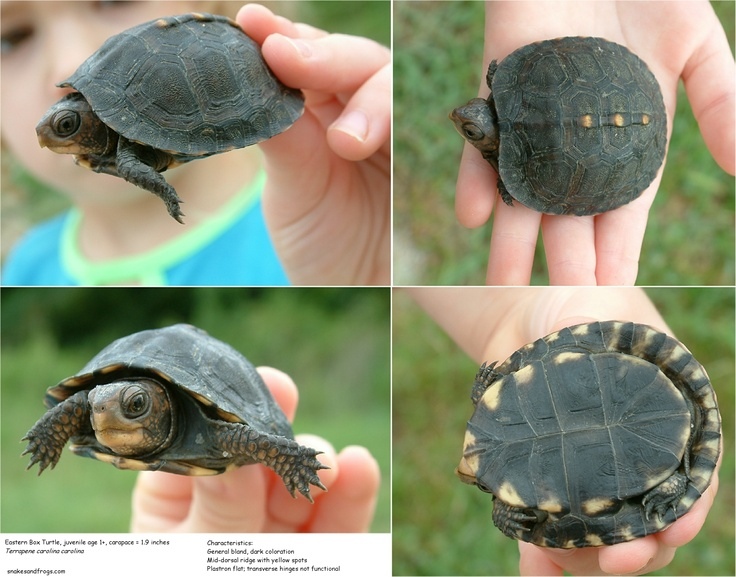 12 best images about Turtles - Eastern Box Turtle on ...