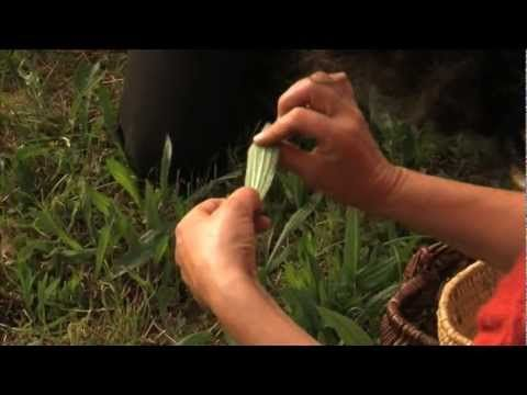 Reconna tre et cuisiner les plantes sauvages cuisine - Comment cuisiner les bananes plantain ...