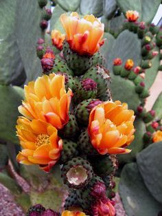 """Savez-vous que sur l'île de Sainte-Hélène, les opuntias (un des principaux genres de la famille des cactus) sont cultivés sous le nom de """"tungis"""" et utilisés pour fabriquer un alcool rafraîchissant ?"""