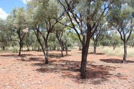 Gidyea or Gidgee Tree. This tree was used by the Kalkadoon people to make Nulla Nulla's, shields, boomerangs, swords and clapsticks. It is a very hard wood and will burn for hours in a fireplace. The gidgee gum can be eaten and is a bit like honey but with a slight sour taste and it can be eaten to cure a sore throat as well.